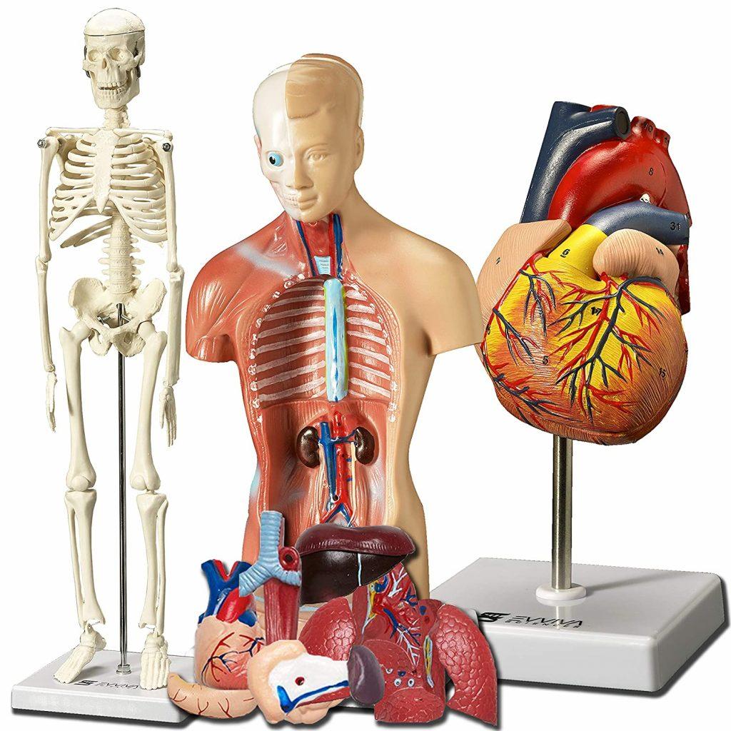 Anatomy of human body